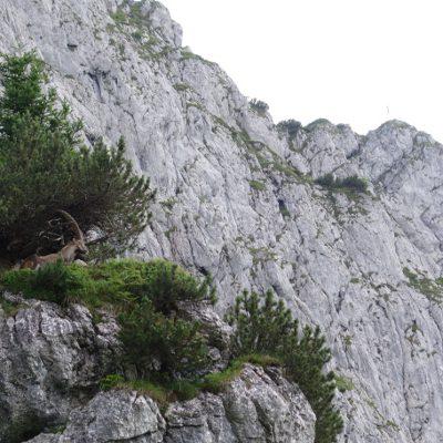 Steinbockparadies kurz vor der Tutzinger Hütte