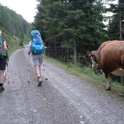 Eine Kuh begleitet uns