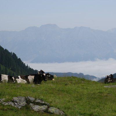 Ungewohnt mal schwarbunte Kühe zu sehen