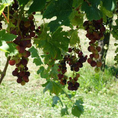 Wir wandern vorbei an Weinfeldern
