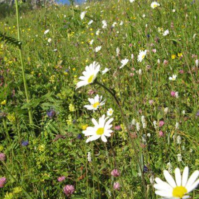 Schönste Blumenwiesen
